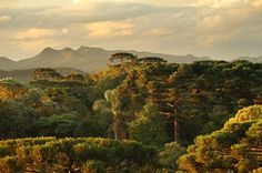 Araucaria forest - lost world Photo by Adrian Moss — National Geographic Your Shot