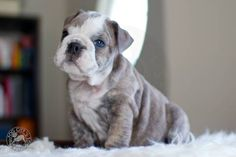 blue eyed english bulldog OMG!!! SERIOUSLY ADORABLE