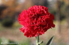 Resultado de imagem para carnation