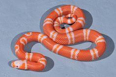 Albino Tangerine Honduran