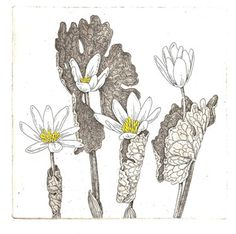 Blood root, I love this plant. ~ Bobby Angell (http://www.bobbiangell.com/catalog_etchings.html)