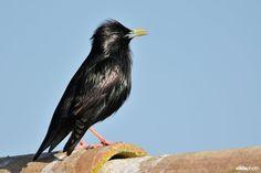 Zingende Zwarte spreeuw (Portugal)