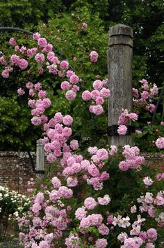 "Rosa ""Debutante"""