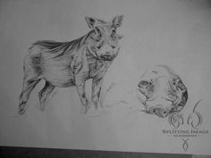 From concept to completion, every step is detailed and implemented to perfection.  #SplittingImageTaxidermy #africa #southafrica #taxidermy #taxidermist #bushpig #art #artist #drawing