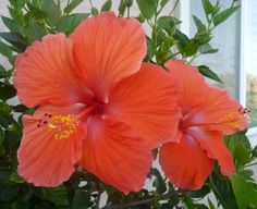 Hopefully my Hibiscus Tree blooms with pretty flowers Hibiscus Tree, Annual Flowers, Pretty Flowers, Perennials, Garden Design, Planters, Bulb, Bloom, Wallpaper