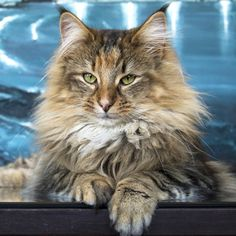 Norwegian Forest Cat, Noldor Forest, Norwegian Forest Cat breeder in Madrid. Wow, his face looks like a lion's!