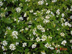 Plant photo of: Lantana montevidensis 'White LIghtening'