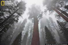giant_sequoias_mm7946_001