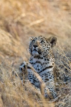 Een luipaard adopteren voor kerst? Dat kan! http://www.stichtingspots.nl/index.php?page=695 (Foto: Marc MOL)