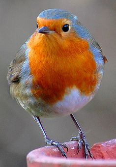 European Robin, Erithacus rubecula. Old World flycatcher. Have you ever seen…