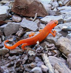 Red Efts: Eastern Newt        My mother was convinced that red salamanders were poisonous and refused to let us near one. What she didn't know was this adorable little red eft is the terrestrial stage of the Eastern Newt (Notophthalmus viridescens). It is often found in cool, damp areas