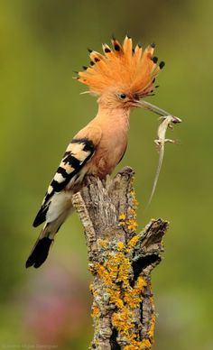 Hoopoe Bird With Lizard by Andres Miguel...