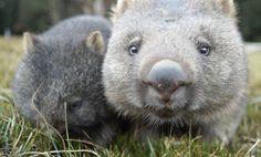 """愛らしい姿のウォンバット〜『ダーウィンが来た』 Japan's NHK TV wombat documentary, """"The Secret World of Wombats"""""""