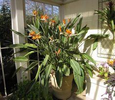 Strelitzia reginae ~ Bird of Paradise Flower in a sunroom