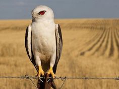THRIVING ON AGRICULTURE BLACK-SHOULDERED KITE, ELANUS AXILLARIS The black-shouldered kite is one of the lucky species to have reaped the benefits of agricultural practices and the introduction of house mice in Australia. This stunning raptor was using the fence as a vantage point to spot its rodent prey, which is abundant in the wheat fields. Roma, Queensland. Picture: Brendan Schembri