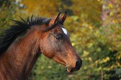 Pferd, Brauner, Hengst, Vollblutaraber
