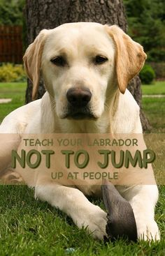 Black Labrador No more jumping up! How to teach your Lab not to jump at people but to greet them politely - Does your Labrador like jumping up at people? This article will help you stop your dog jumping up at you and others both at home and outside. Labrador Retrievers, Chocolate Labrador Retriever, Retriever Puppies, Golden Retrievers, Training Your Puppy, Dog Training Tips, Potty Training, Training Classes, Training Online