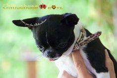 Chihuahuas Love - Comentar Los Post de Chihuahuas. Blog Chihuahuas-Love.