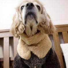 http://www.coccola.co.kr/   귀엽고 시크한 강아지옷 코콜라 CoCCoLa 입니다.     CoCCoLa 코콜라 신상 모직 코트  강아지옷, 고양이옷, 중형견옷, 코카옷