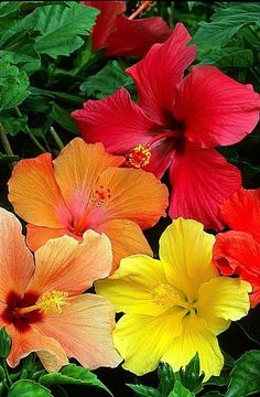 Growing hibiscus is a very easy way to include an exotic flair to your garden. When you recognize the best ways to look after hibiscus plants, you will certainly be rewarded with many years of wonderful blossoms. Let's check out some ideas on how you can Tropical Flowers, Tropical Flower Arrangements, Hawaiian Flowers, Hibiscus Flowers, Exotic Flowers, Tropical Plants, Colorful Flowers, Beautiful Flowers, Hibiscus Garden