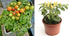 Nurserylive provides free seeds to support & promote organic vegetable gardening. Start growing organic vegetable at home, Order your free seeds now.