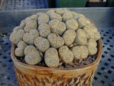 Houseplant Care Guides: Lithops 101