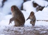It is a baby Japanese snow monkey