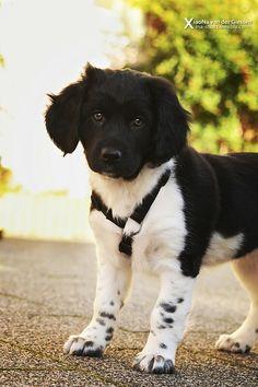 8 weeks old, puppy, Friese Stabij.