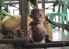 Animals And Pets, Baby Animals, Cute Animals, Wild Animals, Baby Orangutan, Orangutans, Ape Monkey, Primates, Endangered Species