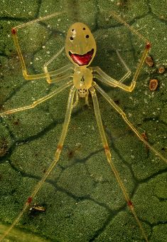 Theridion grallator, the 'Happy Face' spider of Hawaii.