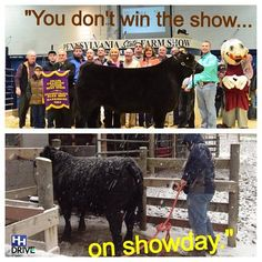 Timely advice for all Ag students.PA Farm Show! Livestock Judging, Livestock Farming, Showing Livestock, Showing Cattle, Farming Life, Show Cattle Barn, Cow Quotes, Show Cows, Show Steers
