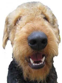 Airedale Terrier - The largest Oorang or Mountain Airedale