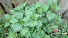 Tipy a triky Parsley, Preserves, Lemonade, Smoothies, Detox, Projects To Try, Food And Drink, Herbs, Homemade