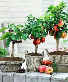 Cereza, pera y manzana! Son hermosos!