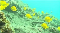 Aqua And Yellow Nature   School Of Yellow Tang In Turquoise Water Feeding - HD stock footage ...