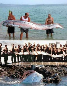 Giant Oarfish. EEW! i cant see my self in the ocean with that big ass thing