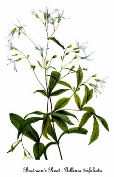 Gillenia trifoliata (Bowman's Root, Indian Physic , black root) - Gardens in the Wood of Grassy Creek