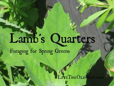 Lamb's Quarters - Foraging for Spring Greens