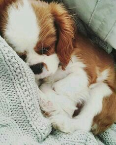 The many things we all admire about the Cute Cavalier King Charles Spaniel Dogs Cute Baby Animals, Funny Animals, Cute Dogs Breeds, Small Dog Breeds, Small Dogs, I Love Dogs, Animals Beautiful, Dogs And Puppies, Doggies
