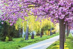 Il sentiero tra i ciliegi, Stati Uniti