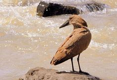 Hamerkop (Scopus umbretta) A perched bird by a fast flowing stream