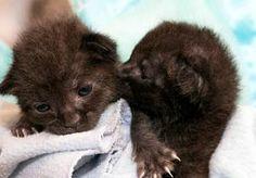 19-Apr-2014 12:29 - DA'S SCHRIKKEN: TWEE UITGEHONGERDE KITTENS IN EEN DOOS MET KABELS. Een monteur van een kabelmaatschappij in San Diego schrok zich rot toen hij in een doos met glazvezelkabels twee kittens vond. De dieren waren per ongeluk bij de bestelling terechtgekomen.