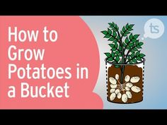 Como Cultivar Batatas em Baldes Vaso ou no Jardim