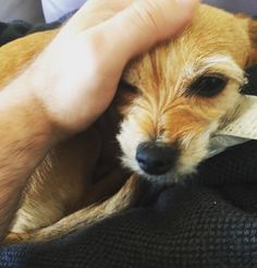 Looking after this one today - Julia The Dog :) Corgi, Fox, Cute, Instagram Posts, Animals, Animaux, Animales, Corgis, Foxes