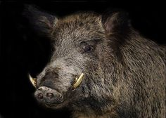 Wild Boar Hunting, Pit Boys, Natur Tattoos, Tier Fotos, Dark Lord, Barbarian, Special People, Pyrography, Pigs