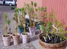 Aaskov Plantemarked 2012, træer og pileflet