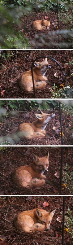 Napping in the garden #fox #red_fox #Vulpes_vulpes