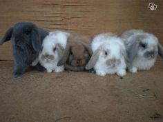 Babies for Sale - Yorkshire Mini Lops Leeds breeder of mini lop rabbits, Micro Lops, Rabbit Boarding. Mini Lop Bunnies, Mini Lop Rabbit, Cute Baby Bunnies, Holland Lop Bunnies For Sale, Baby Rabbits For Sale, Cute Small Animals, Cute Funny Animals, Cute Baby Animals, Hamsters