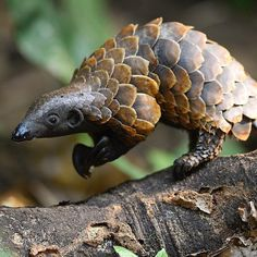 Is this animal real? You are looking at the rare black-bellied pangolin. They are the smallest of the 8 pangolin… Interesting Animals, Unusual Animals, Most Beautiful Animals, Rare Animals, Beautiful Creatures, Animals And Pets, Funny Animals, Wild Photography, Animal Photography