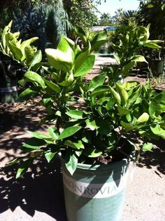The Dwarf Navel Orange Tree Will Load Up With Fruit That Is Delicious,  Seedless,
